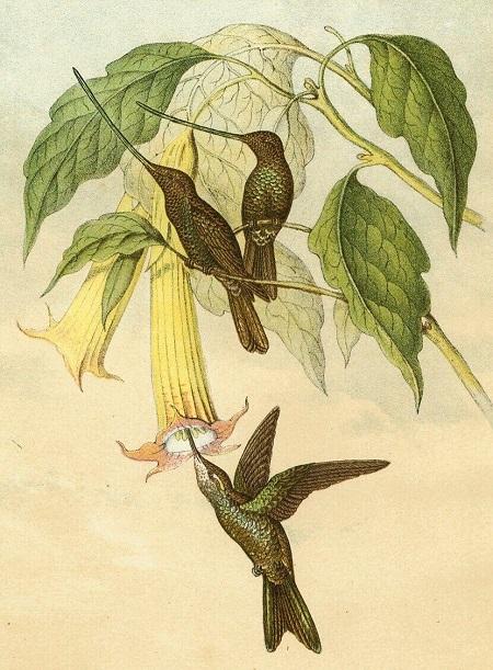 Datura o Brugmansia arborea