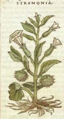 Ilustración de estramonio en Materia Médica de Andrés Laguna página 421
