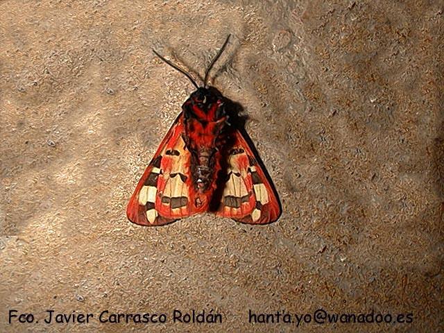 Epicalla villica devant. Papillons: Gitanillas sevillanas.