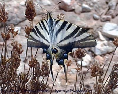 Papillon: Iphiclides podalirius.