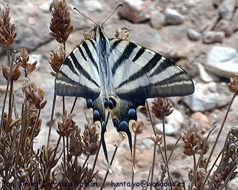 Papillon: Iphiclides podalirius. g 2